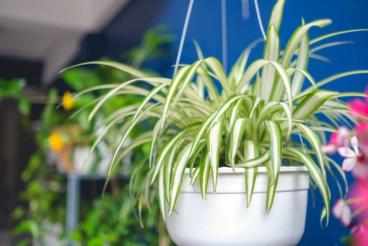 toxins stomach issues spider plant