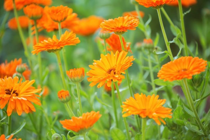 Calendula is a spicy flower