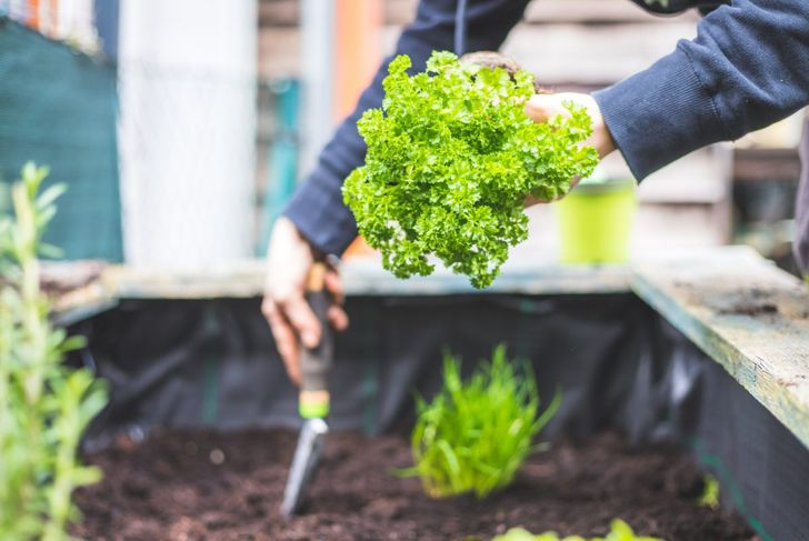 loamy soil pots planting parsley