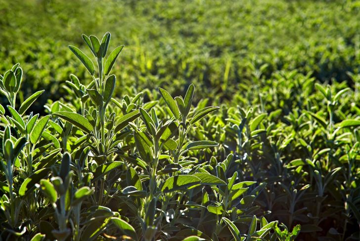 grow pot garden space sage