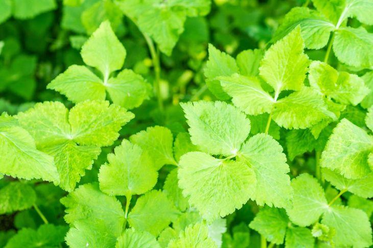 Varieties types parsley common japanese