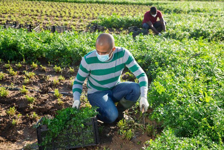 Cutting parsley stems growth harvesting