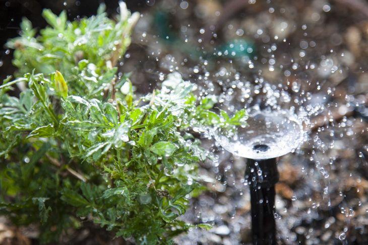 Deep root watering parsley