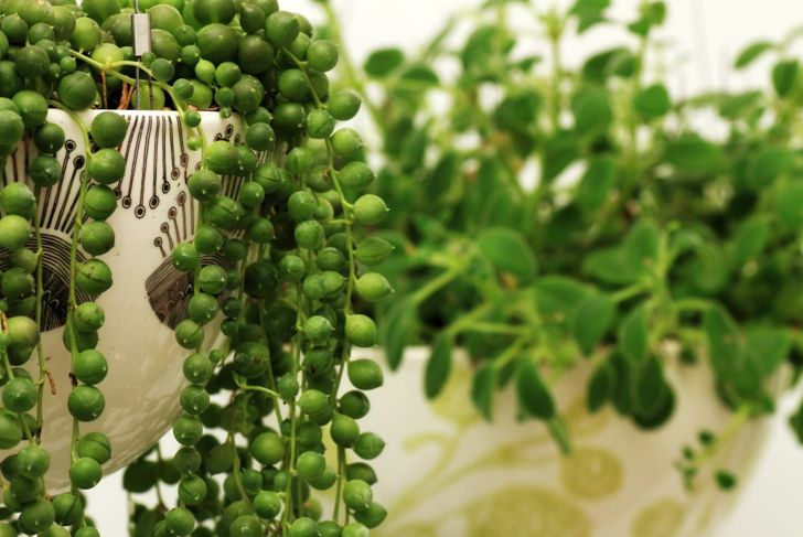 string of pearls succulent sagittarius