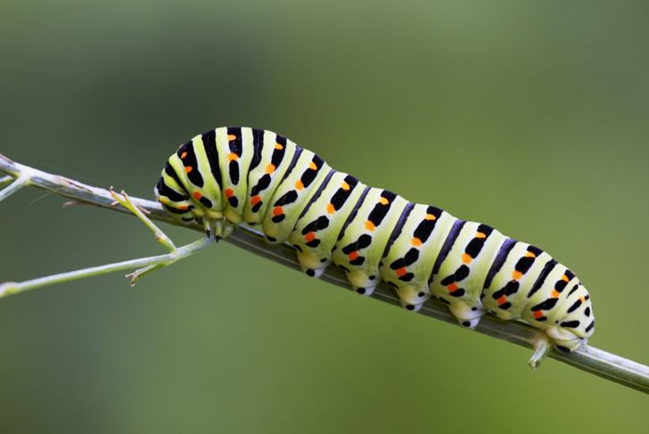 Swallowtail caterpillar butterfly populations parsley