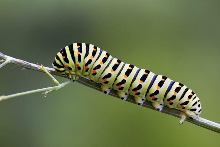 Swallowtail caterpillar butterfly populations parsley