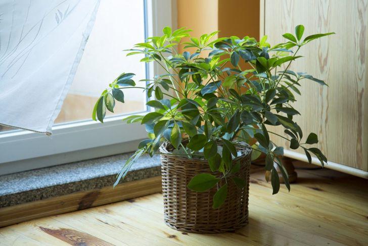 umbrella plant toxins sap shefflera
