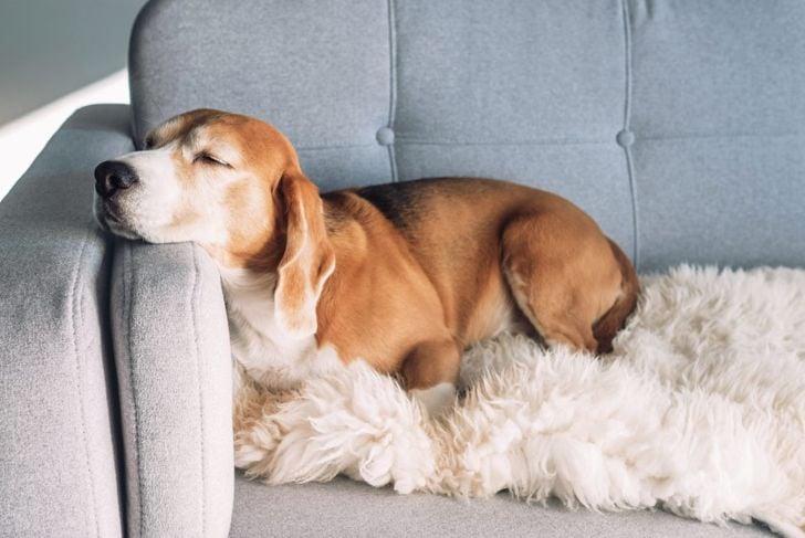 Dog Napping on a Sofa