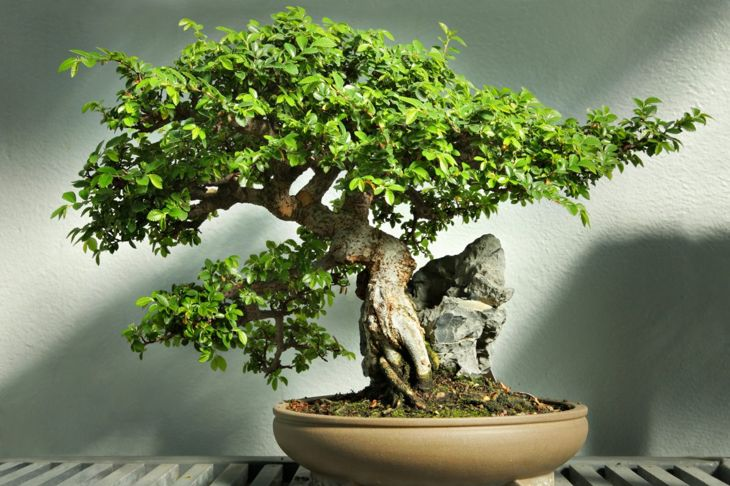 details intricate bonsai branches virgo