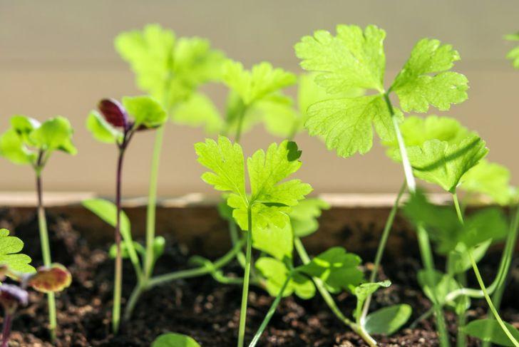 Plants space parsley seedlings