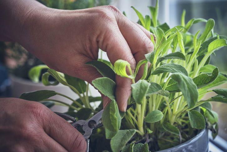 prune sage plant stem