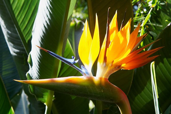 bird of paradise houseplant aquarius