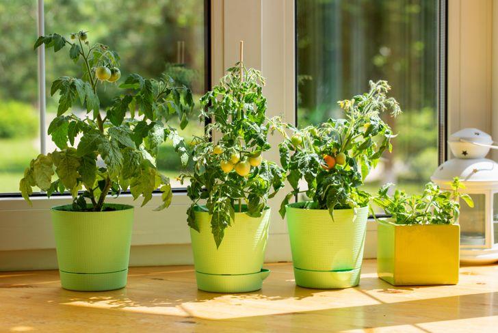 tomato plants growing indoors