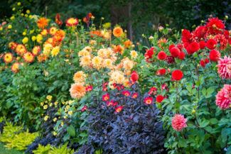 Planting and Growing Dahlias in Your Garden