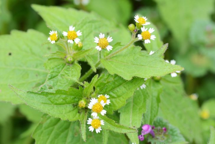 close up of shaggy soldier flowering plant