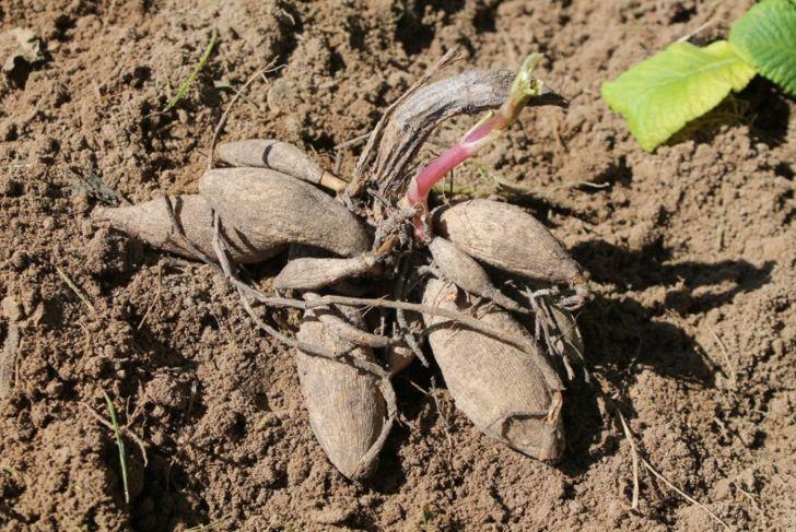 dahlia tubers on garden soil, close-up