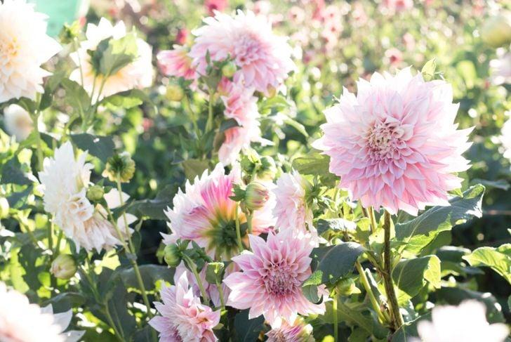 pink dahlia flowers in summer sunlight