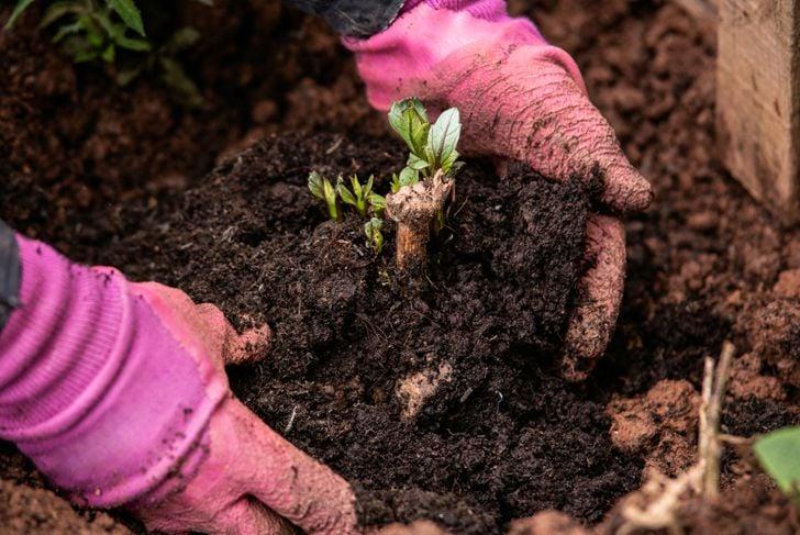 hands planting dahlia tuber
