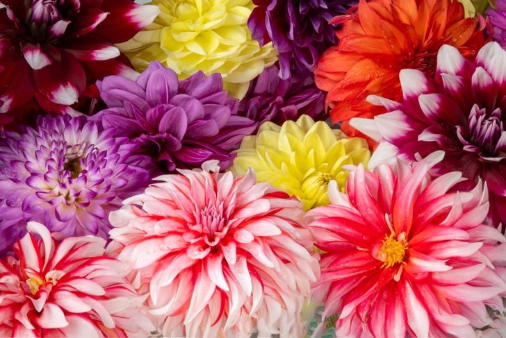 close up of many different dahlia flowers