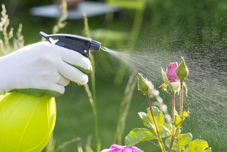 close up hand spraying pesticide on rose