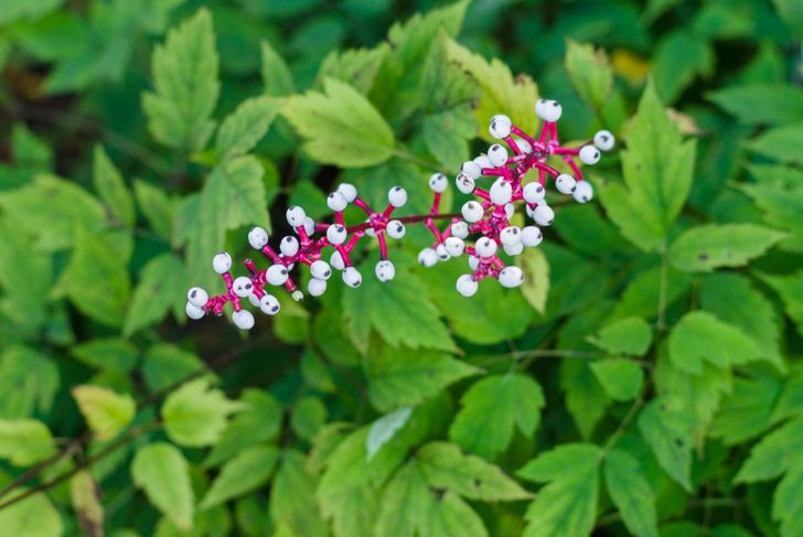 white baneberry plant with red stems on leaf background