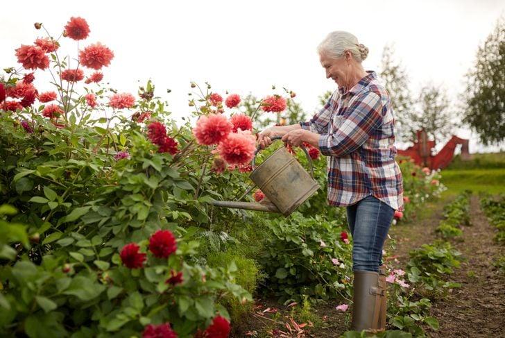 woman watering tall dahlia garden