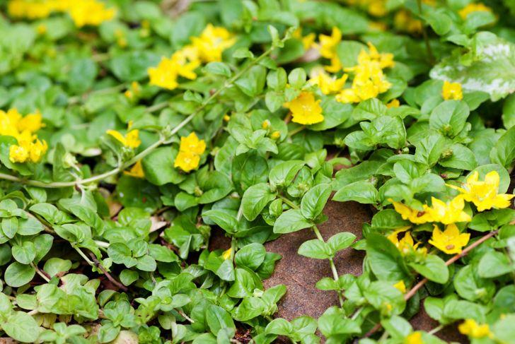 close up of creeping jenny vining plant