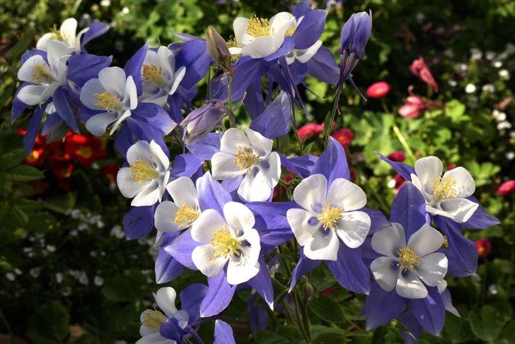 purple and white colorado columbine flowers