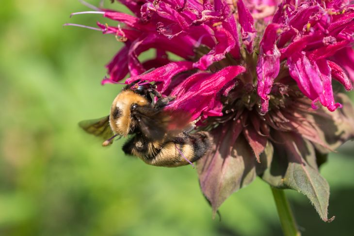 close up of bee drinking from bee balm flower