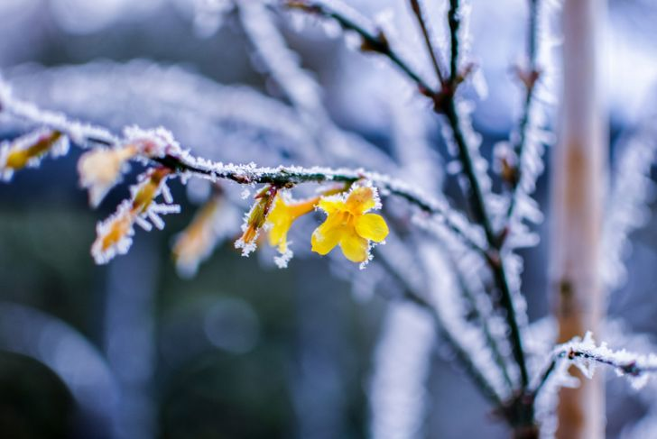 yellow or winter jasmine with snow on the branches