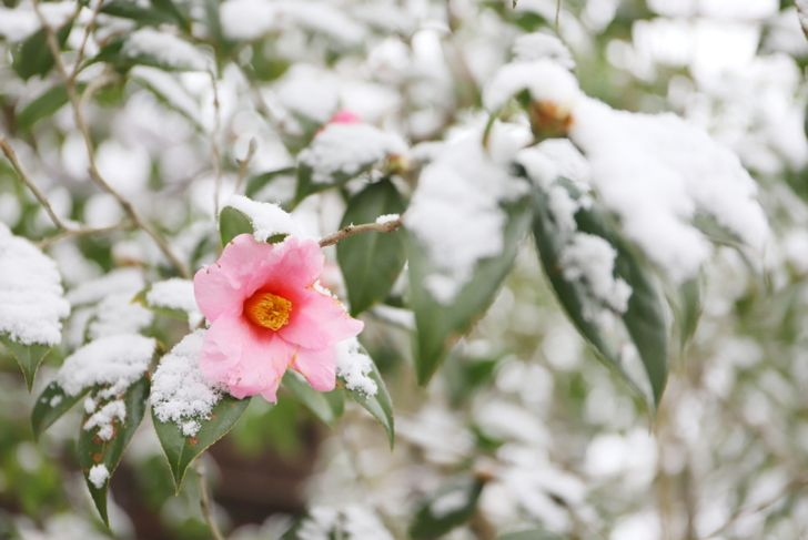 camellia flower blooming in the snow