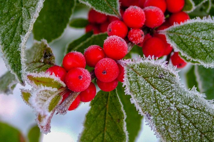 winterberry holly branch with frosted leaves and berries