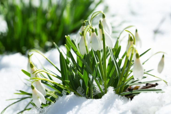 snowdrop flowers blooming out of the snow
