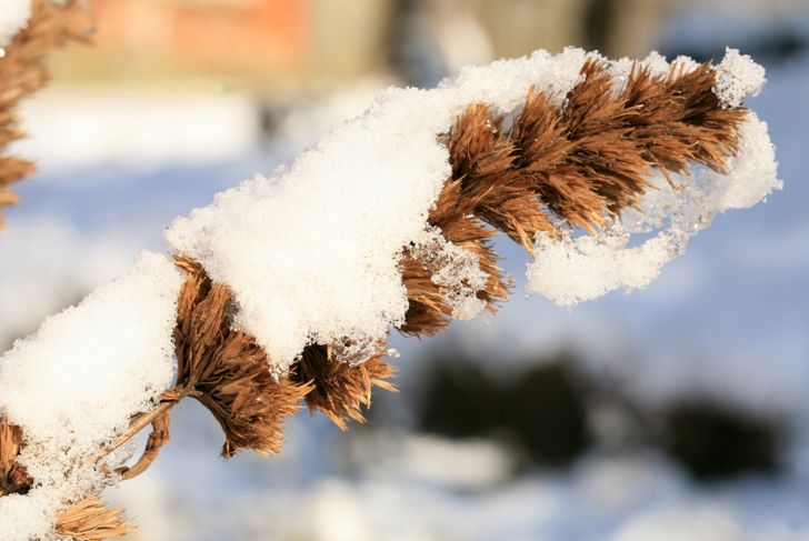 dried catmint stalk covered in snow
