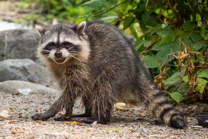 a raccoon in the yard growling