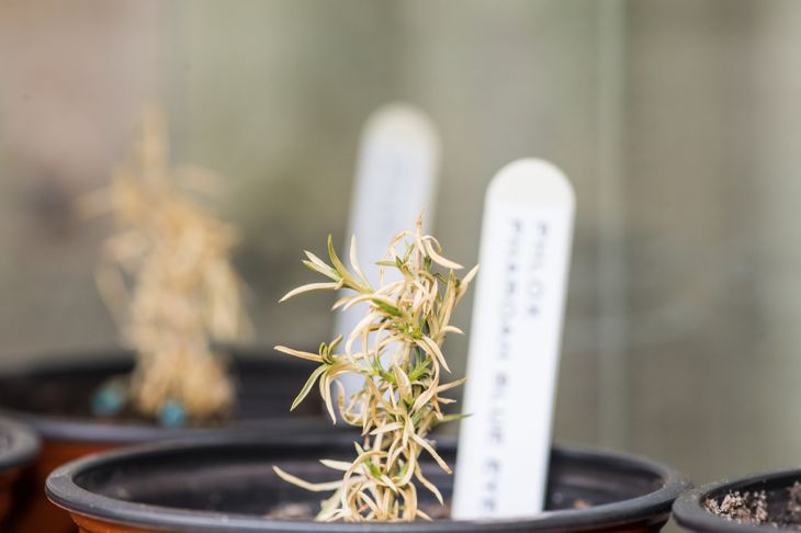 rosemary seedling dying in small pot