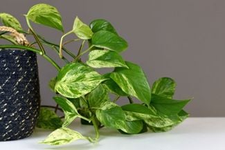 How to Grow and Take Care of a Pothos Houseplant