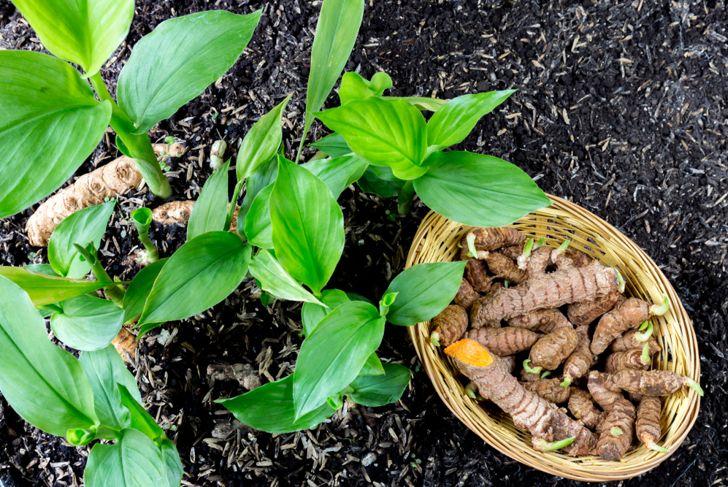 harvested turmeric root below green shoots of turmeric plants