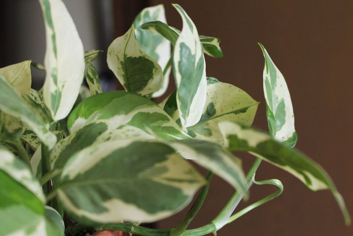close up of marbled pothos plant leaves