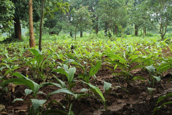 field full of small turmeric plants