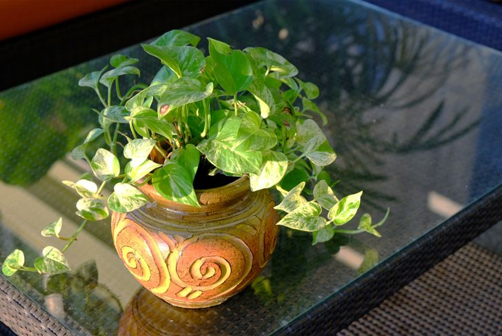 potted pothos plant on a coffee table