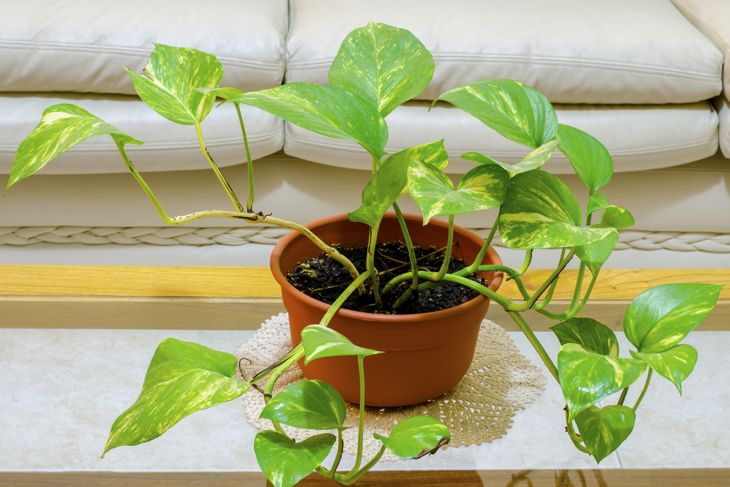 small pothos vining plant on a table