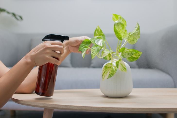 woman misting a small pothos table plant