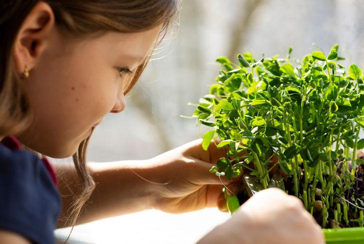 little girl cutting her own microgreens