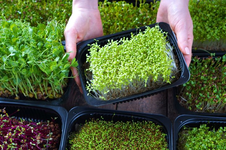 woman selecting microgreens in a plastic container