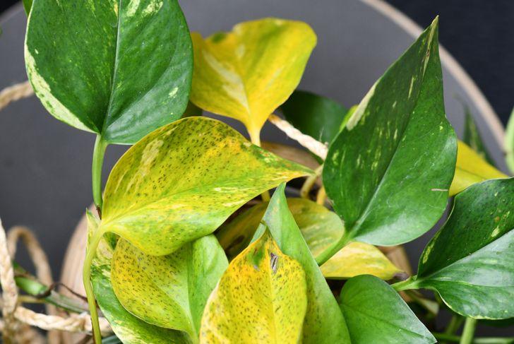 leaf spot disease on a pothos plant