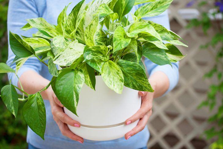 woman holding out a healthy pothos plant