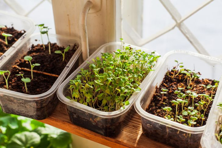 microgreens in plastic containers on the windowsill