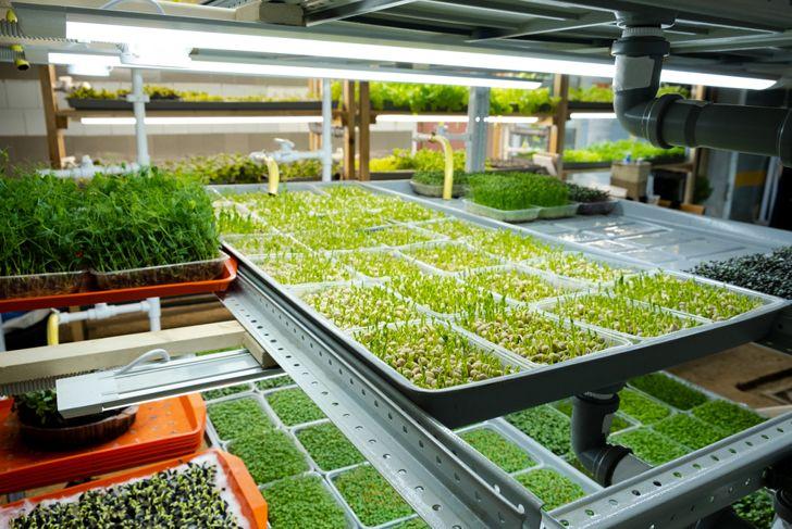 microgreens manufacturing greenhouse