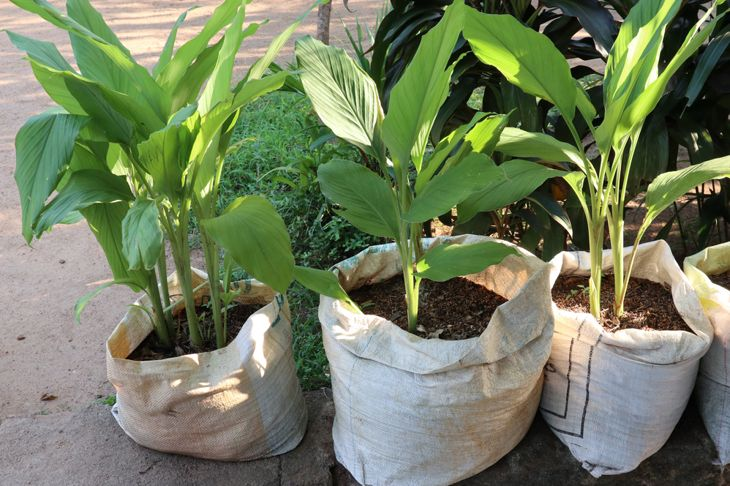 turmeric plants in bags of soil, ready to be planted